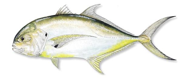 jack crevalle fish