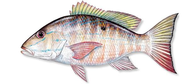 mutton shapper fish