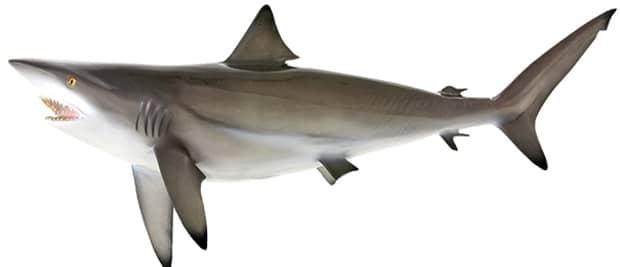 blacktip shark fish
